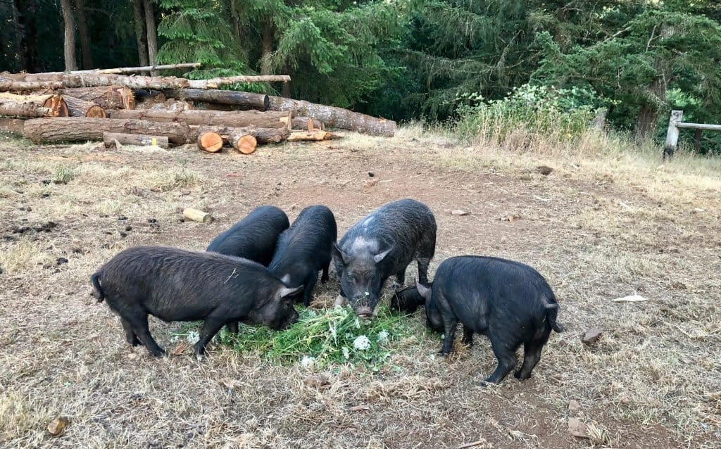 Piggies chowing on wild carrots