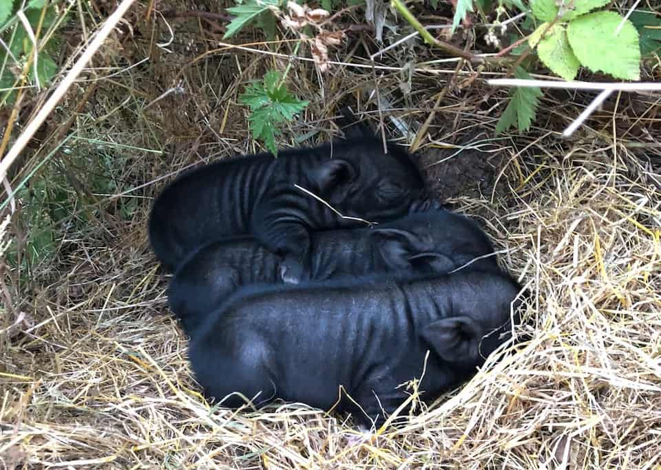 Piglets Day 3 in the nest