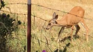 Young deer finally escaped from fencing