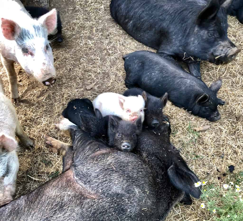 Piglets hanging out with Daddy