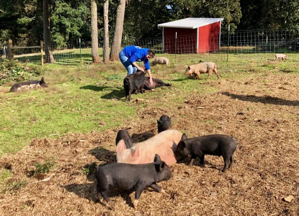 Two nursing sows