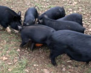 Pigs eating a pumpkin