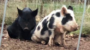 Pigs looking like dogs on peg legs