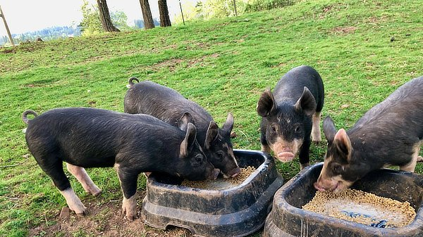 Piglets need TWO food bowls now